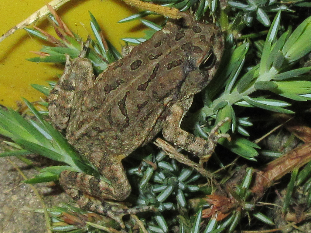 Flash photo of Fowler's Toad