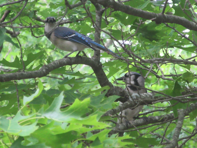 Two blue jays in the tree