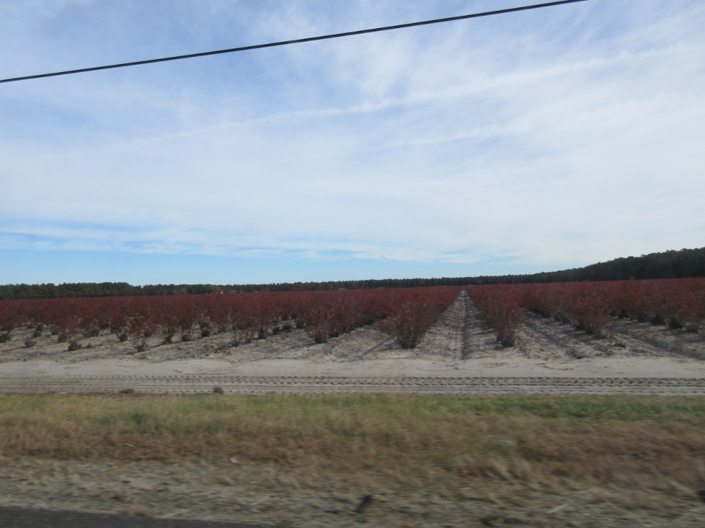 Blueberry field